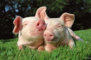 Les cochons auront-ils le temps d'une paix?